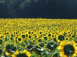 Sonnenblumige Impressionen (1)