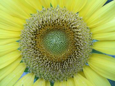 Sonnenblumige Impressionen (11)