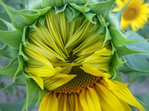 Sonnenblumige Impressionen (14)