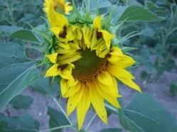 Sonnenblumige Impressionen (15)