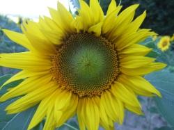 Sonnenblumige Impressionen (16)