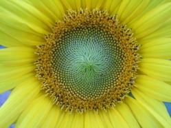 Sonnenblumige Impressionen (17)