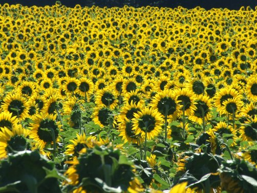 Sonnenblumige Impressionen (2)