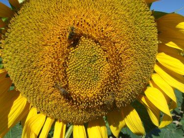 Sonnenblumige Impressionen (23)
