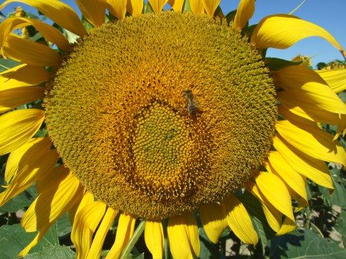Sonnenblumige Impressionen (24)