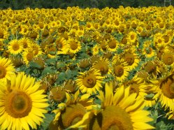 Sonnenblumige Impressionen (25)