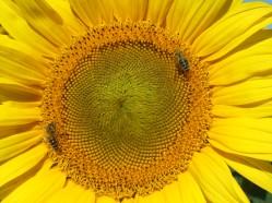 Sonnenblumige Impressionen (26)