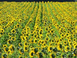 Sonnenblumige Impressionen (27)