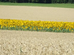 Sonnenblumige Impressionen (29)