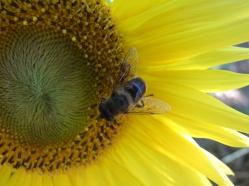 Sonnenblumige Impressionen (3)