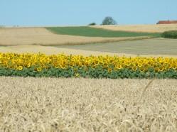 Sonnenblumige Impressionen (31)