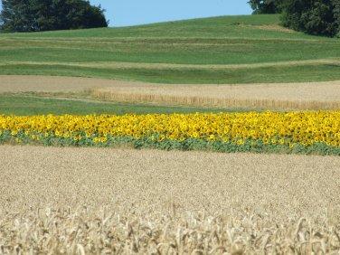 Sonnenblumige Impressionen (34)