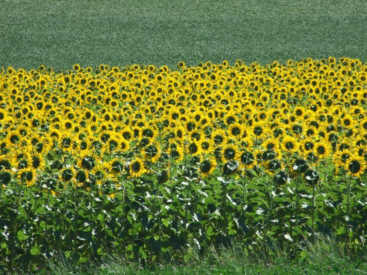 Sonnenblumige Impressionen (35)