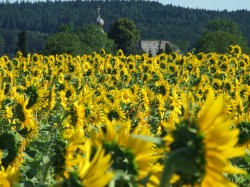 Sonnenblumige Impressionen (4)