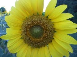 Sonnenblumige Impressionen (5)