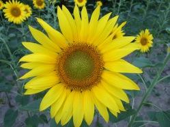 Sonnenblumige Impressionen (6)