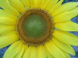 Sonnenblumige Impressionen (7)