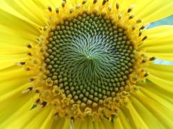Sonnenblumige Impressionen (9)